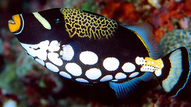 Waikīkī Aquarium » Clown Triggerfish
