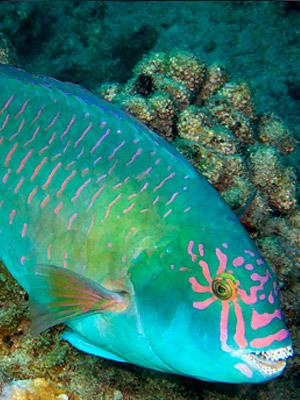 Waikīkī Aquarium » Parrotfish