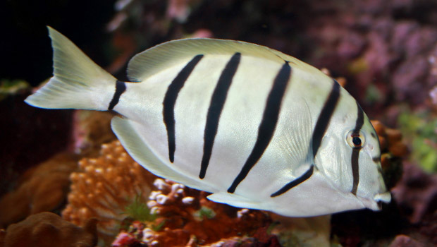Convict Tang Hawaii Convict Tang