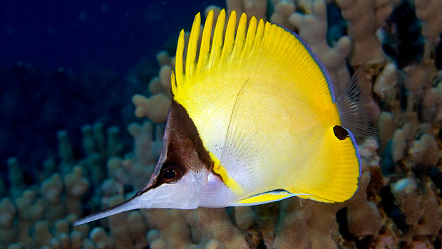 Waik k aquarium longnose butterflyfish for Types of fish in hawaii