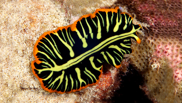 invertebrata platyhelminthes húrszerű paraziták