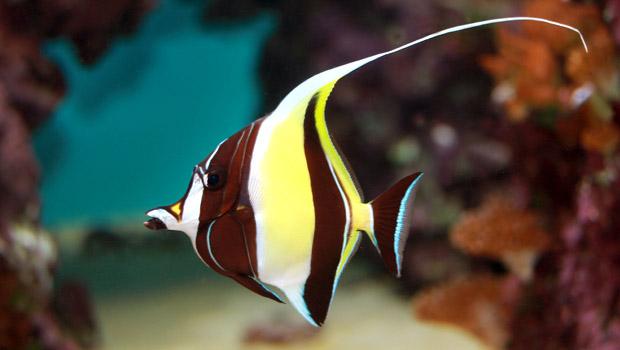 Waikiki Aquarium Moorish Idol