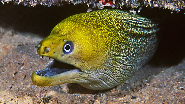 Waik k aquarium undulated moray for Types of fish in hawaii