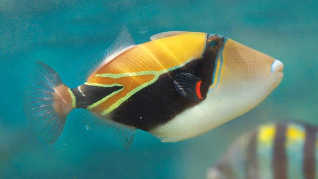 Waik k aquarium reef triggerfish for Fish species hawaii