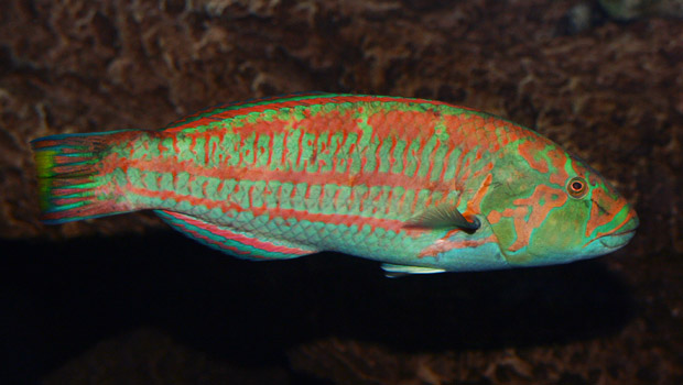 Christmas Wrasse - Waikīkī Aquarium » Christmas Wrasse